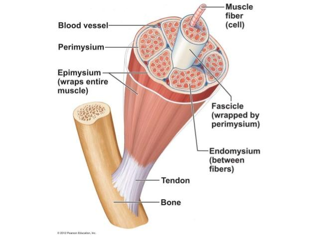 relationship between epimysium perimysium endomysium tendon pain