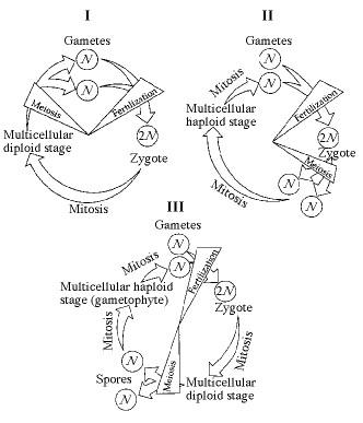human gametes are produced by _____