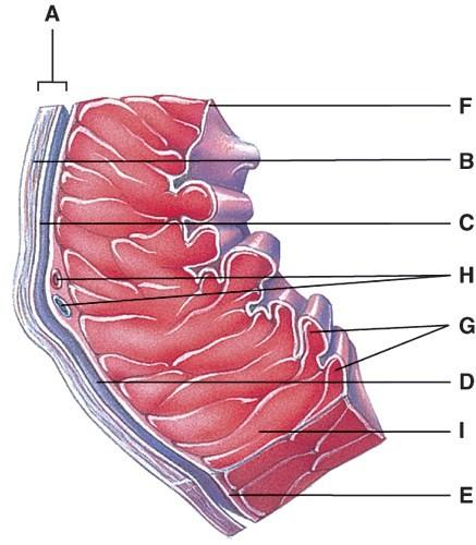 The cardiovascular system the heart flashcards easy notecards in the diagram where is the trabeculae carnae ccuart Image collections