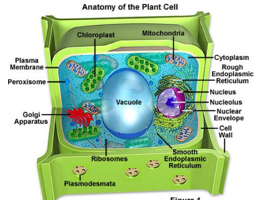 Print grade 6 science flashcards easy notecards anatomy of a plant cell ccuart Choice Image