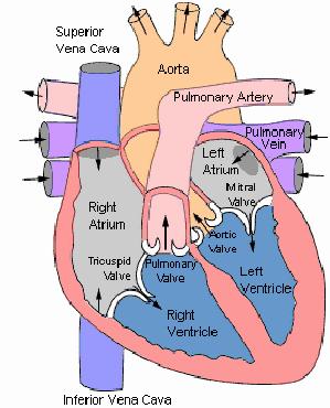 anatomy circulatory/respiration Flashcards | Easy Notecards