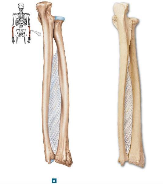 senior anatomy ulna and radius quiz (by daniellesmethers, Sphenoid