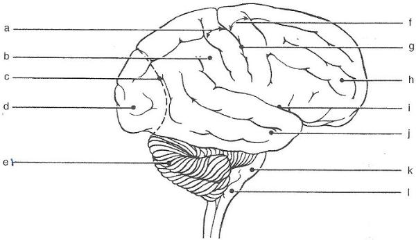 Exercise 19: Gross Anatomy of the Brain and Cranial Nerves ...