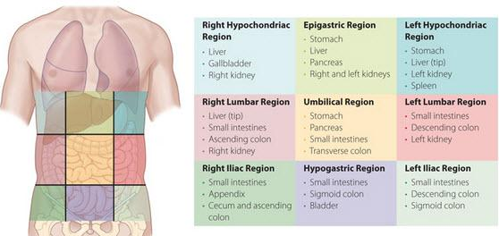 Immunelymphatic Systems together with Sep16 as well Connective Tissue besides Story as well Regions Of The Abdominal Area. on body cavities and regions