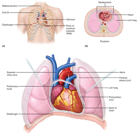 chapter 18: the heart flashcards | easy notecards, Cephalic vein