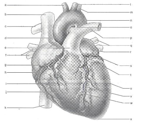 Exercise 30 anatomy of the heart flashcards easy notecards an anterior view of the heart a f ccuart Image collections