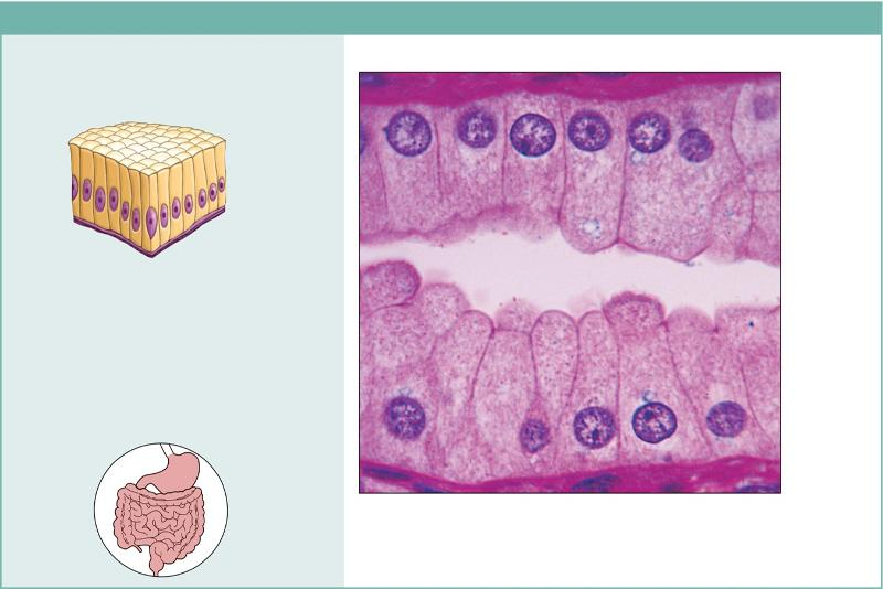 Chapter 4 Tissue Pictures Flashcards Easy Notecards