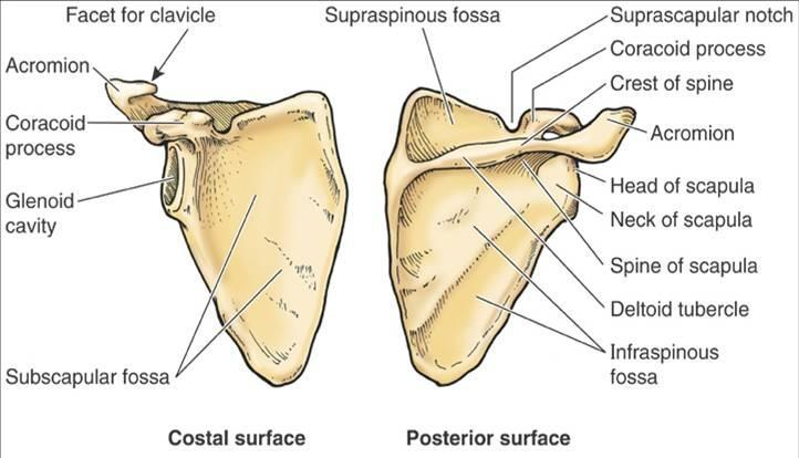 print upper appendicular skeleton week 5 flashcards