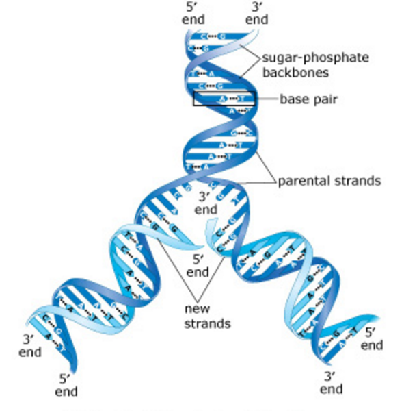 Exam 3: Chs. 5 (DNA Structure and Replication Machinery) & 16 (The ...