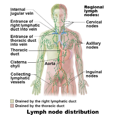 ch. 20: the lymphatic system flashcards | easy notecards, Human Body