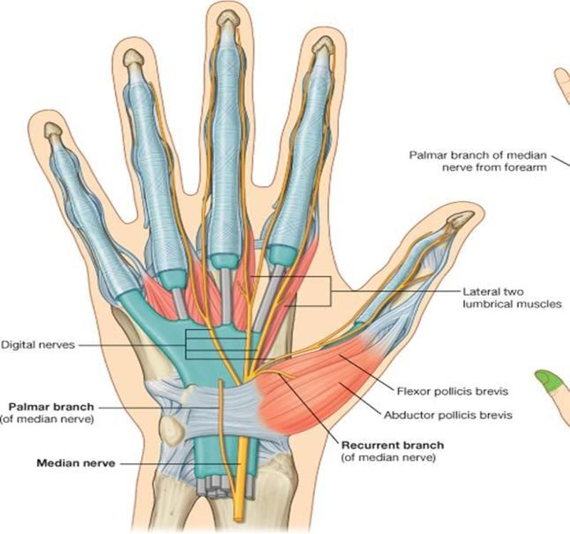 Exelent Nerves Of The Thumb Anatomy Images - Anatomy And Physiology ...