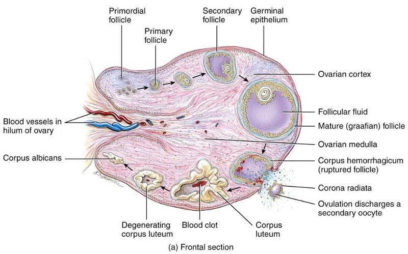 Epidermal and Hair Follicle Tumors - Merck Veterinary Manual