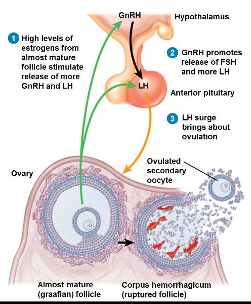 PREGMATE 100 Ovulation Test Strips LH Surge Predictor OPK