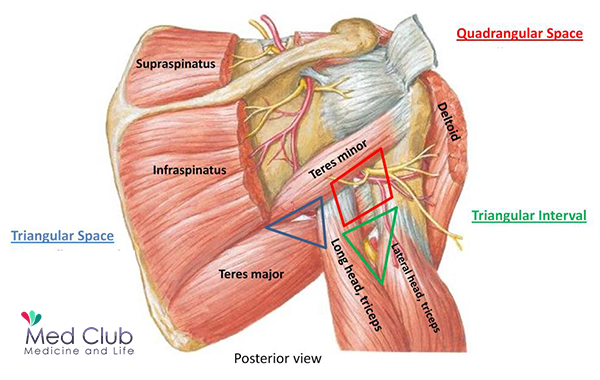 Special Areas Of The Upper Limb Flashcards