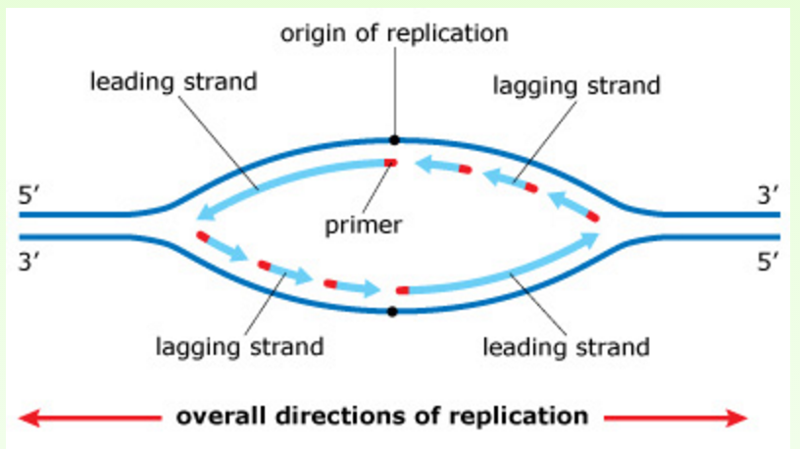 explain how dna serves as its own template during replication - exam 3 chs 5 dna structure and replication machinery