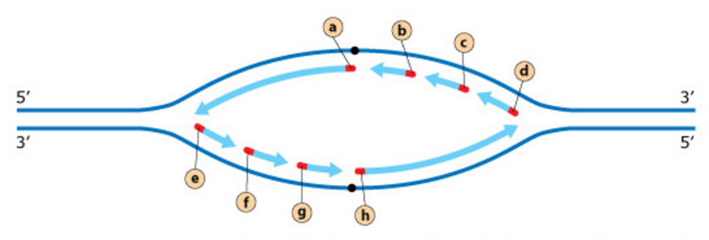 Exam 3 chs 5 dna structure and replication machinery 16 the rna primers on the leading and lagging strands the diagram below shows a replication ccuart Image collections