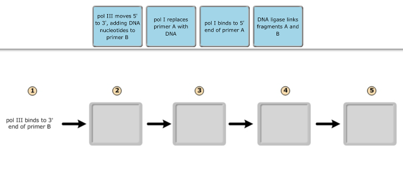 exam 3  chs  5  dna structure and replication machinery