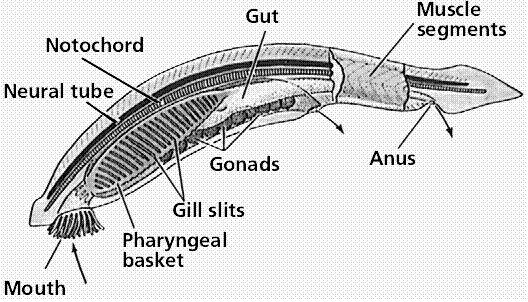Introduction To Major Animal Phyla Flashcards