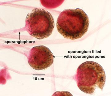 Print Fungi- yeasts and molds flashcards | Easy Notecards Rhizopus Sporangia Labeled