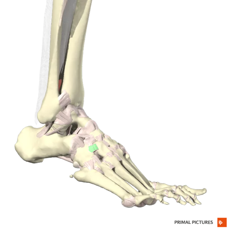 Print Ankle Ligaments flashcards | Easy Notecards