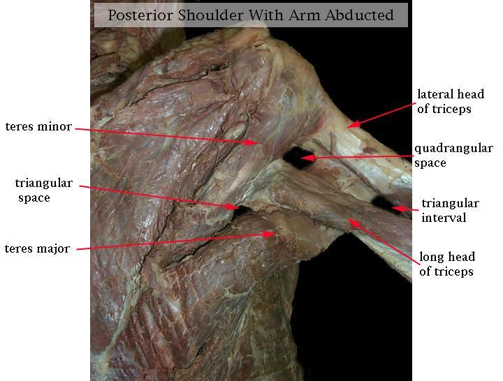 Print Special Areas Of The Upper Limb Flashcards Easy Notecards