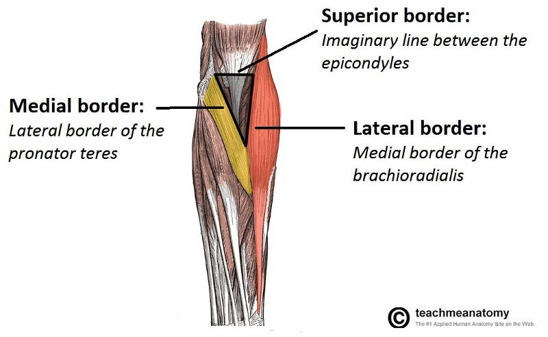 print special areas of the upper limb flashcards | easy notecards, Cephalic Vein