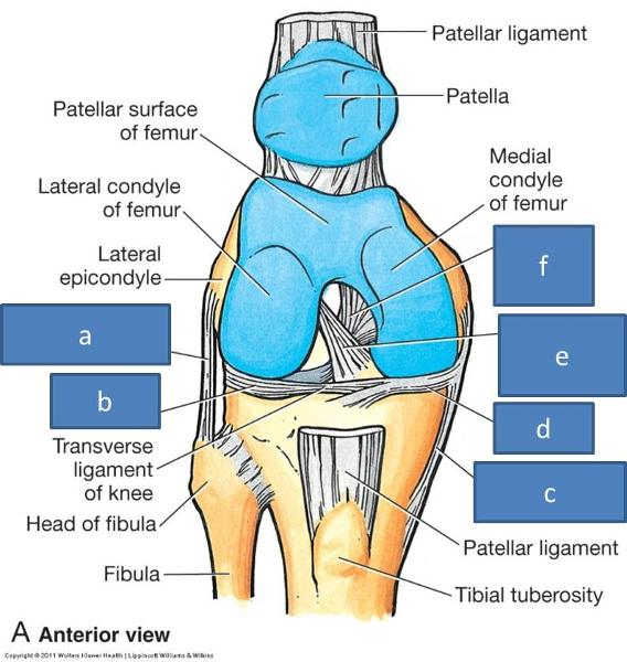 Anatomy Block Iii Elbow Knee Wrist And Ankle Joints Flashcards