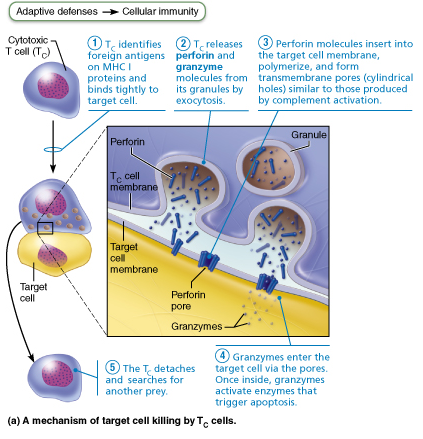 Chapter 21: The Immune System: Innate and Adaptive Body
