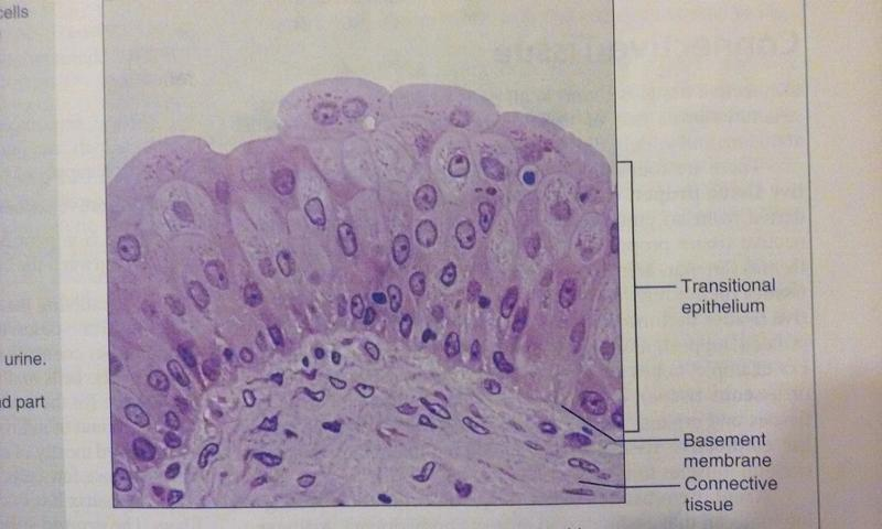 histology flashcards Histotechnology exam flashcards study system is a compilation of the hundreds of critical concepts you must understand to pass the histotechnology exam.