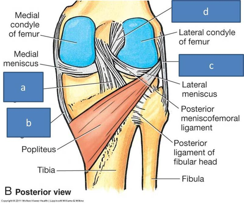 Modern Radial Collateral Ligament Illustration - Human Anatomy ...