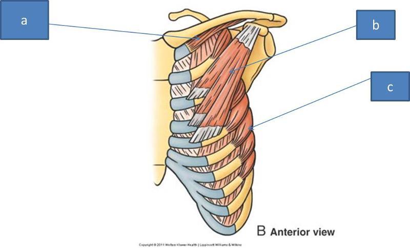 Anatomy Block III- Shoulder, Axilla, Arm, Cubital Fossa Flashcards ...