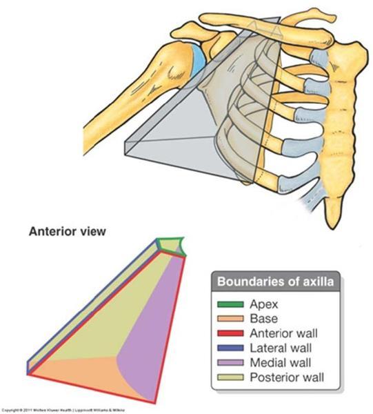 Print Anatomy Block III- Shoulder, Axilla, Arm, Cubital Fossa ...
