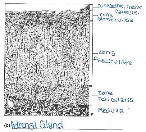 Print Exercise 27: Functional Anatomy of the Endocrine Glands flashcards | Easy Notecards