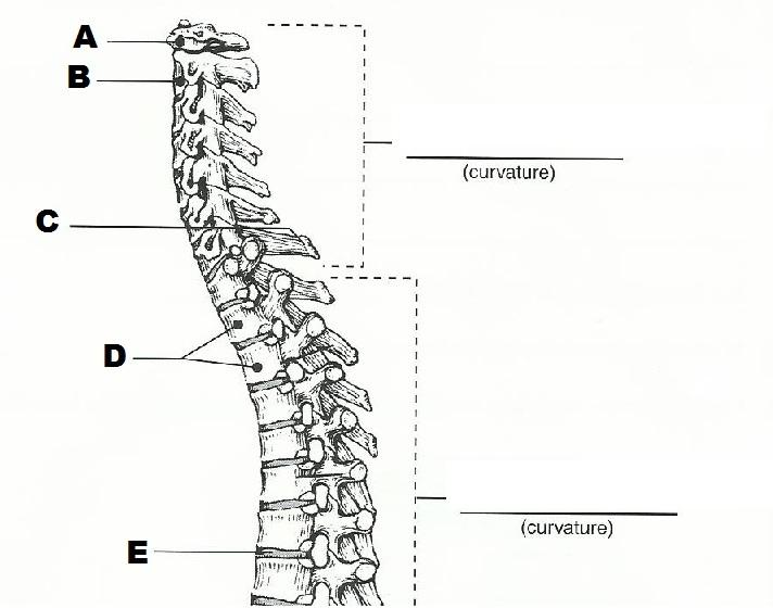 Printables Vertebral Column Worksheet exercise 10 the axial skeleton flashcards easy notecards card image
