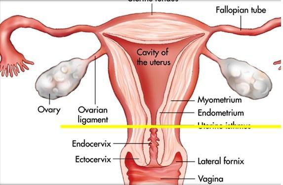 Anatomia Utero, Cervix, Vagina y Trompas Parte I Flashcards | Easy ...