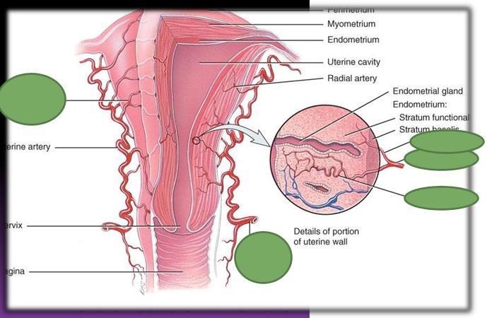 Print Anatomia Utero, Cervix, Vagina y Trompas Parte I flashcards ...
