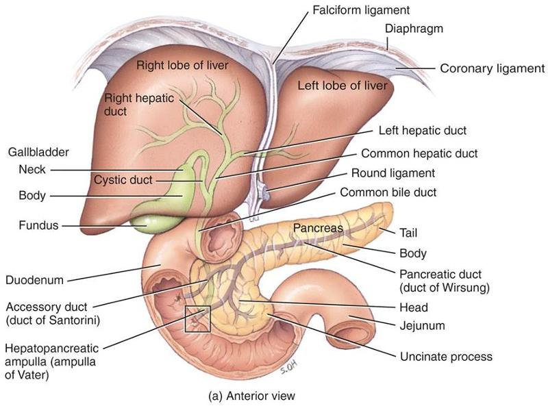 4. Digestive system - Pancreas, liver & gallbladder Flashcards ...