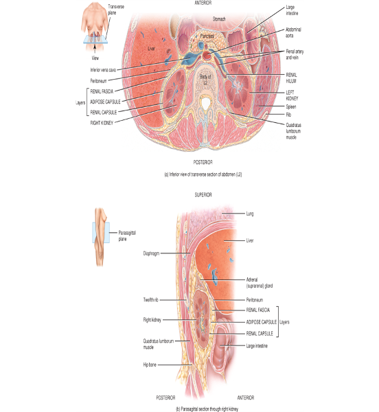 Print 2 urinary system renal anatomy flashcards easy notecards renal capsule ccuart Images