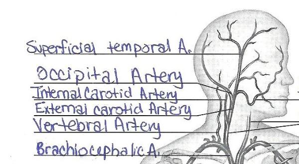 Print Exercise 32: Anatomy of Blood Vessels flashcards | Easy Notecards