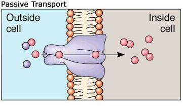 passive transport taking the easy Active and passive transport processes are two ways molecules and other materials move in and out of cells and cross intracellular membranes active transport is the movement of molecules or ions against a concentration gradient (from an area of lower to higher concentration), which does not.