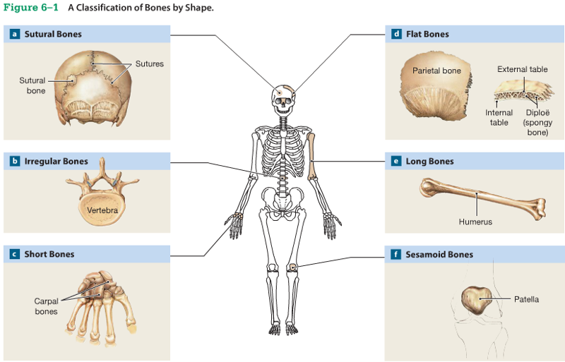 chapter 6: osseous tissue and bone structure flashcards | easy, Wiring diagram