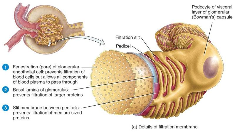 the simulated filtration membrane represents the fenestrated glomerular endothelium in the renal cor Removing proteins and other molecules trapped in the glomerular basement membrane or filtration fenestrated endothelium of glomerular renal filtration.