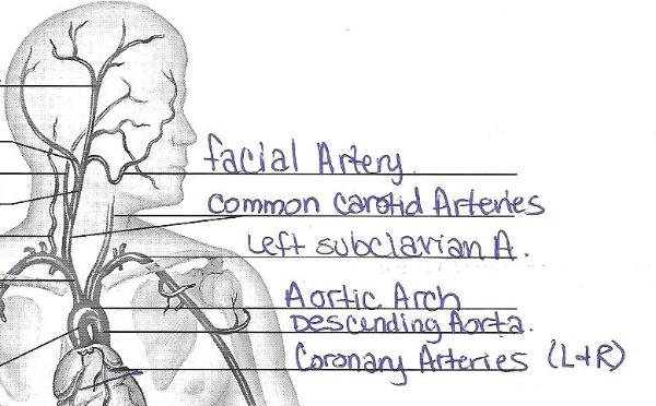 Exercise 32: Anatomy of Blood Vessels Flashcards | Easy Notecards