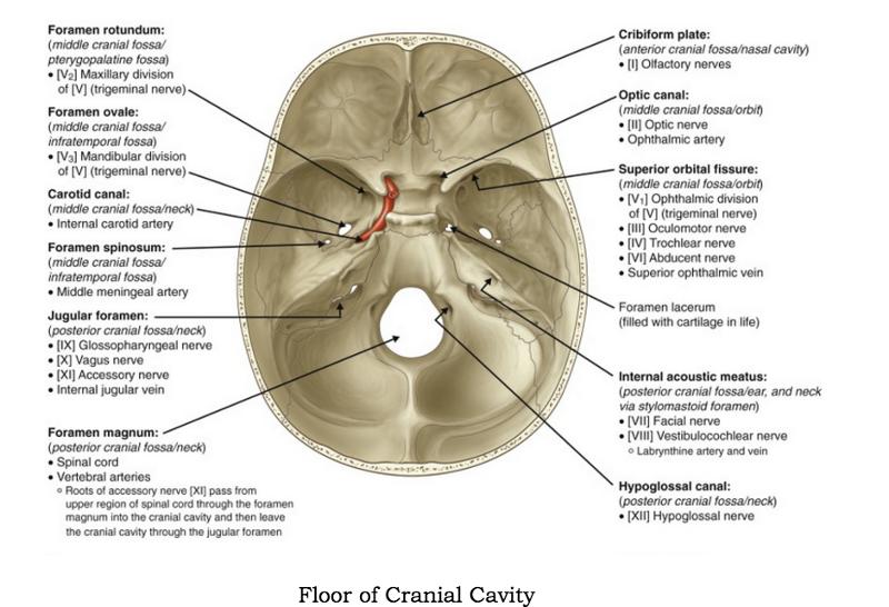 carotid canal – citybeauty, Human body