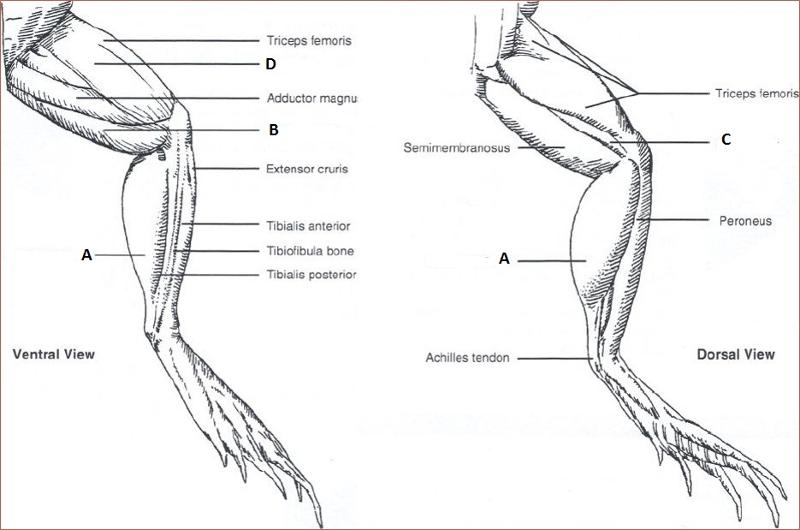 gastrocnemius of frog Equipment available (same as for frog muscle lab i) frog hindlimb from which you must dissect the gastrocnemius muscle and sciatic nerve.