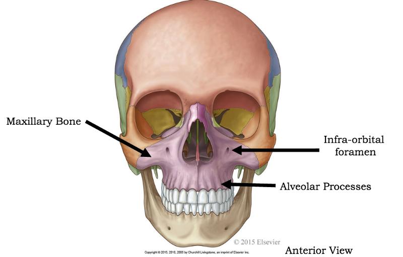 Maxillary Bone The Skull Flashcards |...