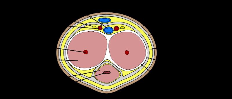 Deep artery of penis
