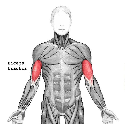 Anatomy 1 exam Muscular system Flashcards | Easy Notecards