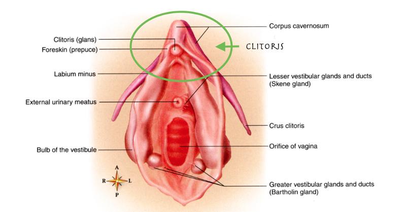 Vestibular glands vulva