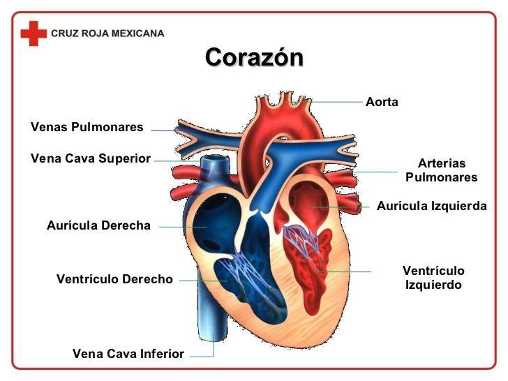 Print Las relaciones anatómicas importantes en el tórax flashcards ...